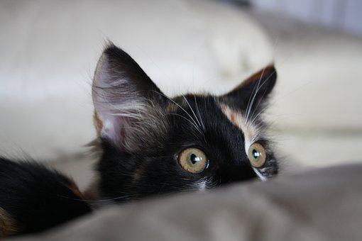 Cat, Cute, Funny, Kitty, Hunter, Kitten, Staring