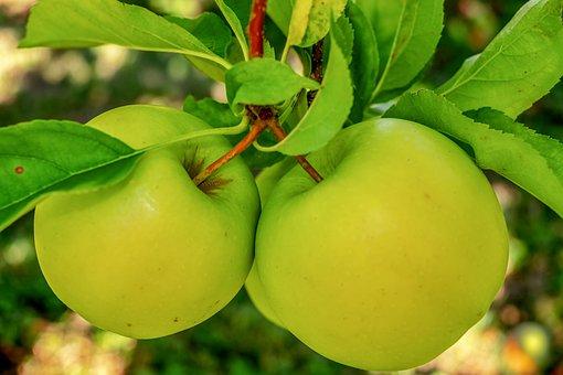 Apple, Green Apple, Fruit, Kernobstgewaechs, Healthy