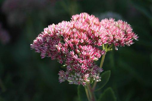 Stonecrop, Sedum, Hybrid, Thick Sheet Greenhouse