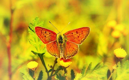 Czerwończyk Uroczek, Insect, Butterfly Day, Flower