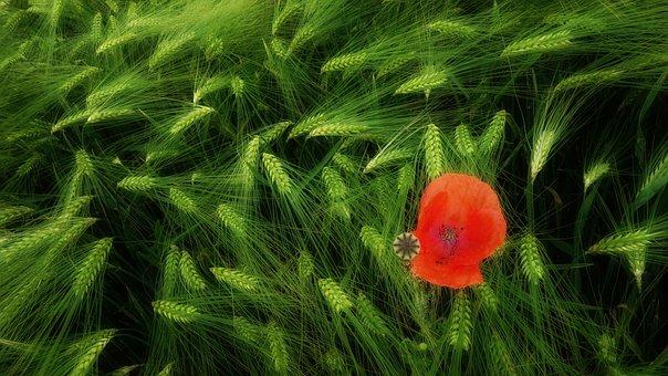 Klatschmohn, Poppy, Poppy Flower, Flower, Red, Nature