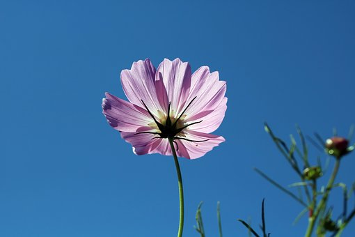 Cosmos, Light, Sky, Nature, Autumn, Outdoor, Flowers