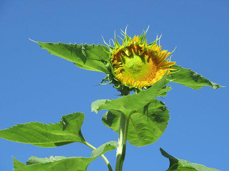 Flower, Leaves, Nature, Garden, Yellow, Sunflower