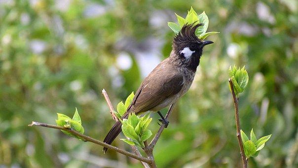 Bird, Bulbul, Natural, Nature, Wildlife, Branch, Wild