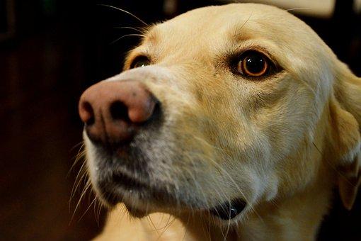Dog, Pet, Animal, Portrait, Canine, Puppy, Labrador