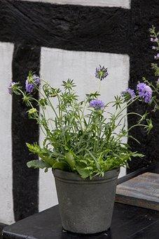 Perennial, Skabiosa, Plant Blue Flower, Timber Frame