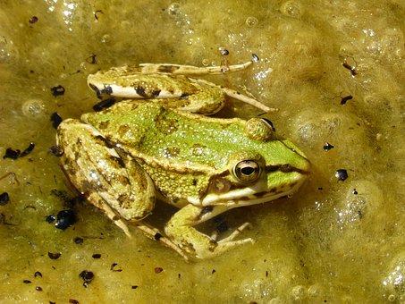 Frog, Green Frog, Pond, Algae, Batrachian