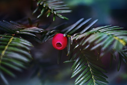 Yew, Green, Conifer, Plant, Nature, Needles, Toxic, Red