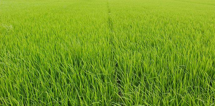 Rice Water, Freshness, Green, Fresh