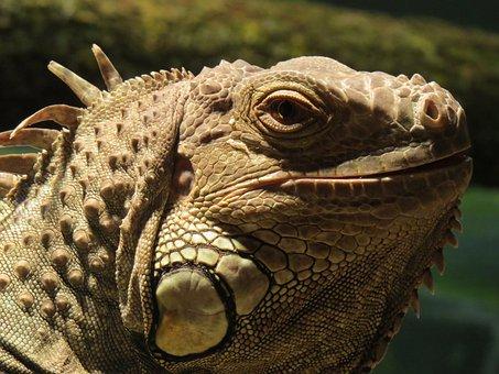 Lizard, Close Up, Reptile, Animal, Scale, Terrarium