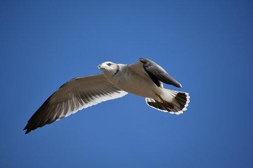 Animal, Sky, Bird, Wild Birds, Sea Gull, Seagull