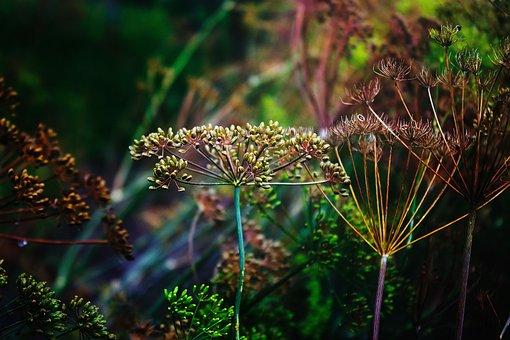 Dill, Greens, Seasoning, Green, Grass, Vegetable Garden
