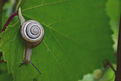 Snail, Leaf, Nature, Animal, Shell, Leaves, Mollusk