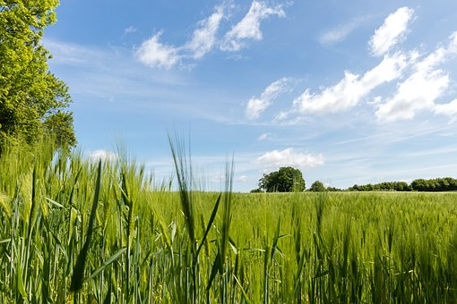 Cornfield, Nature, Cereals, Field, Summer, Wheat, Sky