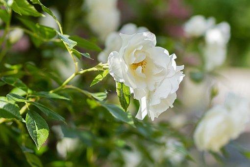 Rose, Flower, Summer, Romance, Garden, Plant, Blossom