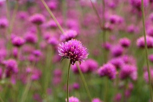 Angel Pink, Flower Garden, Flower Festival, Tabitha