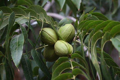 Nut, Walnut, Nogales, Nogalera, Pecan Pie, Tree, Fruit