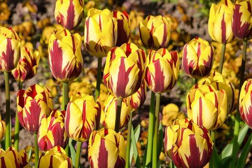 Tulips, Yellow Red, Flower, Nature, Garden