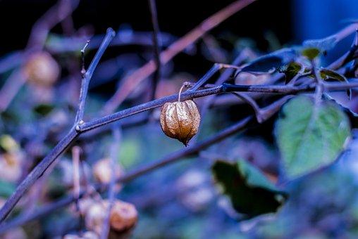 Uvilla Dry, Fruit, Landscape, Nature