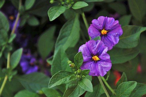 Violet, Flower, Plant, Garden, Flora, The Smell Of
