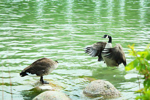 Duck, Water, Canadian, Wing, Pond, Bill, Attack