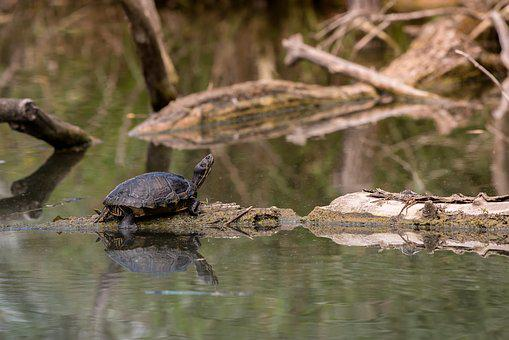 Swamp Turtle, Lake, Water, Nature, Nature Conservation