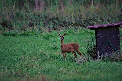 Wilderness, Animal, Roe Deer, Antler, Hirsch, Moss