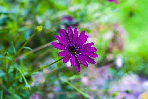 Gérbela, Flower Gerbel, Beautiful, Garden