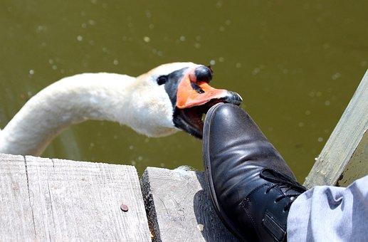Swan, A Swan-shipun, Cygnus High Color, Bird, Animal