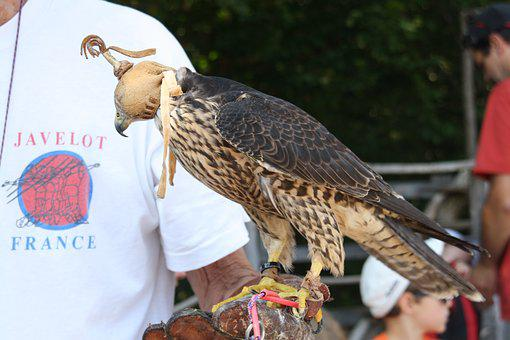Raptors, Falcon, Bird, Wild, Sparrowhawk, Raptor