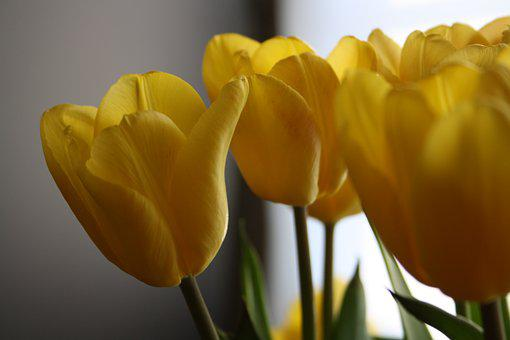 Tulips, Easter, Flowers, Spring, Yellow, Bloom