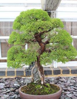 Bonsai, Tree Japan, Small, Miniature