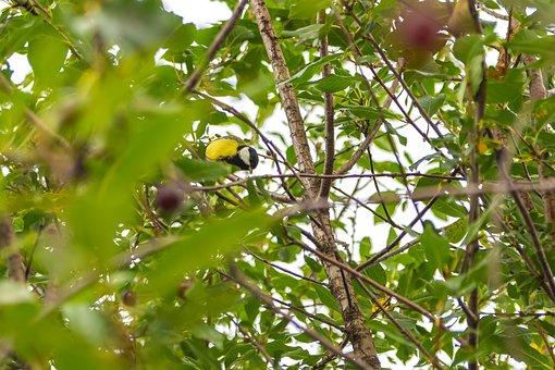 Cherry, Bush, Garden, Nature, Bird, Tit