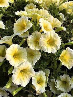 Flowers, Yellow, Mini Petunias, Close Up, Petals