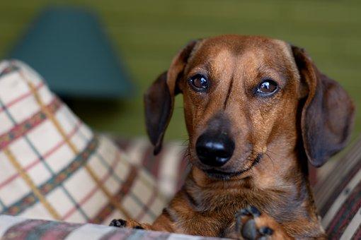 Daschund, Bassoto, Teckel, Dog Sausage, Dog, Animal