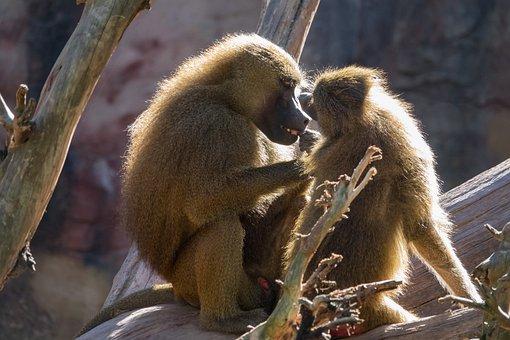 Baboons, Ape, Delouse, Nature, Animal World, Zoo Animal