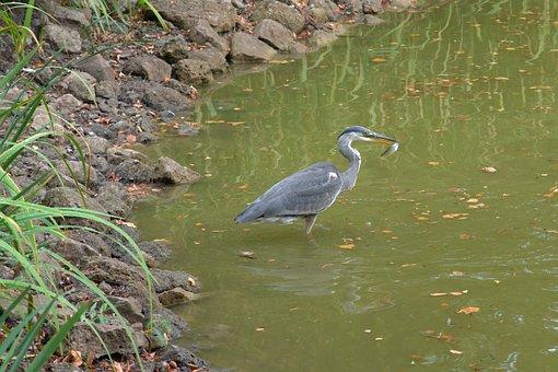 Grey Heron, Heron, Fish, Water Bird, Predator, Plumage
