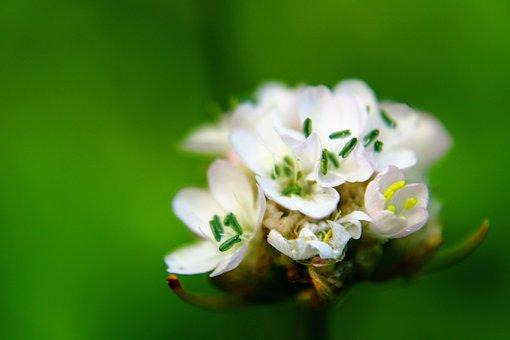 Armeria Maritima, Flower, White, Macro, Green