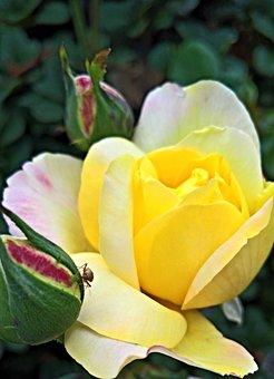 Flower, Rose, Floribunda, Yellow Flowers, Red Buds