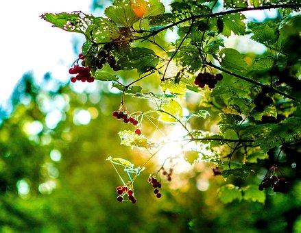 Forest, Sheet, Summer, Sun, Leaves, Nature, Tree, Rowan