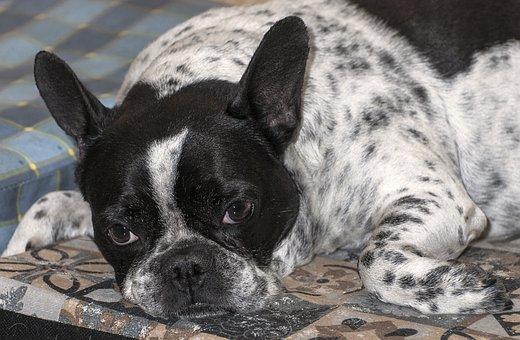 French Bulldog, Dog, Pet, Portrait, Cute, Animals