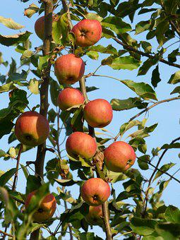 Apples, Fruit, Costs, Vitamins, Food, Harvested