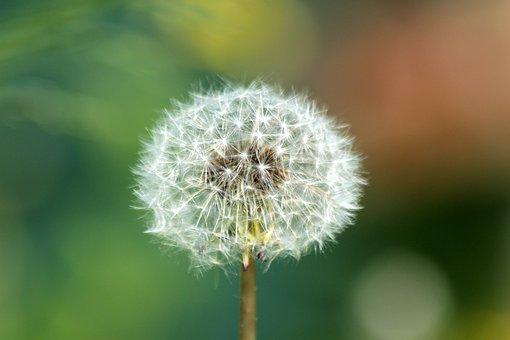Dandelion, Furry, Plant, Flower, Nature, Summer, Air