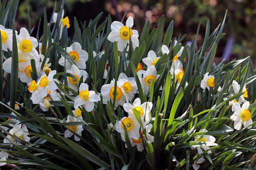 Daffodils, Plant, Nature, Garden, Spring