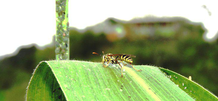 Nature, Insect, Macro, Wasp, Guatica