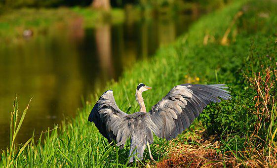 Heron, Bird, Animal, Bird Of Prey, Wildlife, Flight