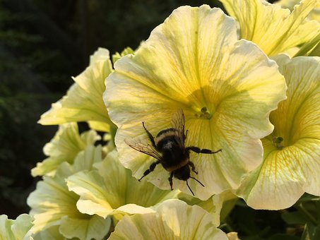Mini Petunia, Hummel, Yellow Flower, Insect, Collect