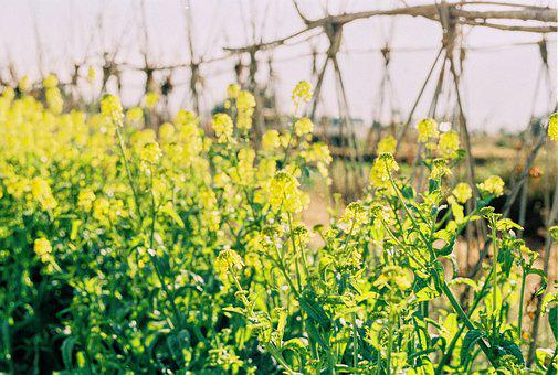 In Yunnan Province, Dali, Vegetable Fields, Cole, Film