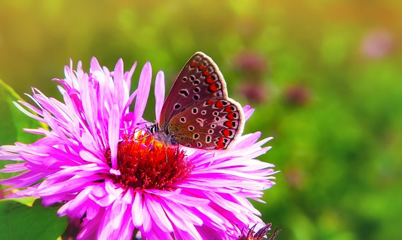 Polyommatus Icarus, Tom, Insect, Butterfly Day, Flower