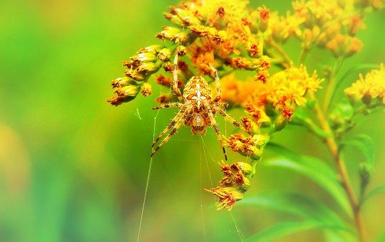 Crusader Garden, Female, Arachnids, Cobweb, Insect